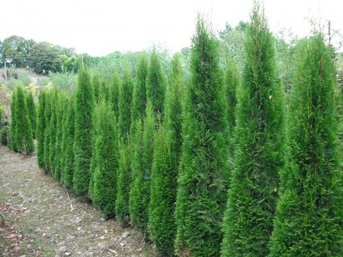 Conifers along the M6, it's a NO from Carillion Kier